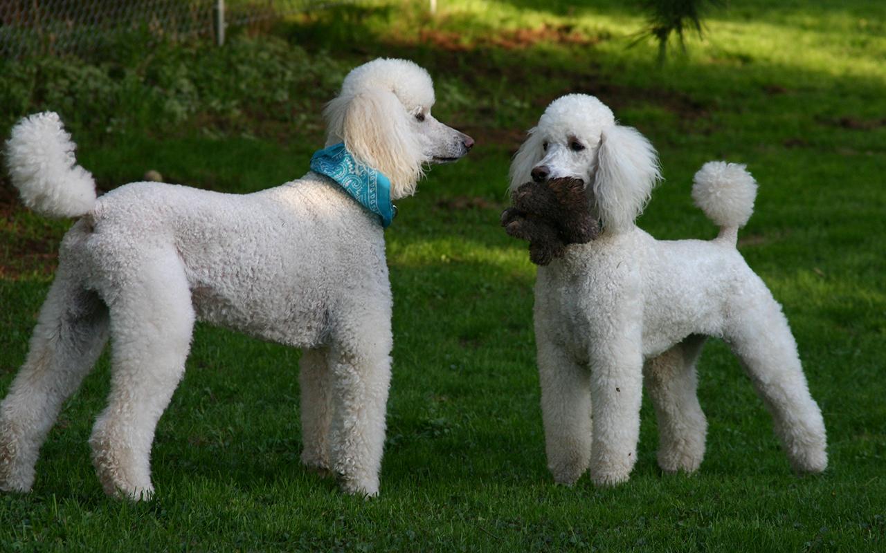 Cani Anallergici Le Razze Adatte A Chi Soffre Di Allergie Animali