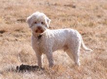 Il Lagotto Romagnolo, l'eterno cucciolo