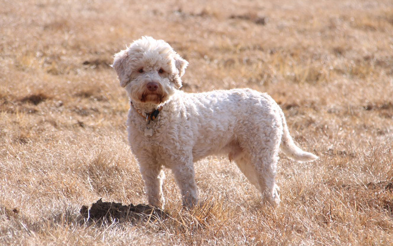 Lagotto romagnolo l 39 eterno cucciolo che ama il tartufo for Tequila e bonetti cane razza