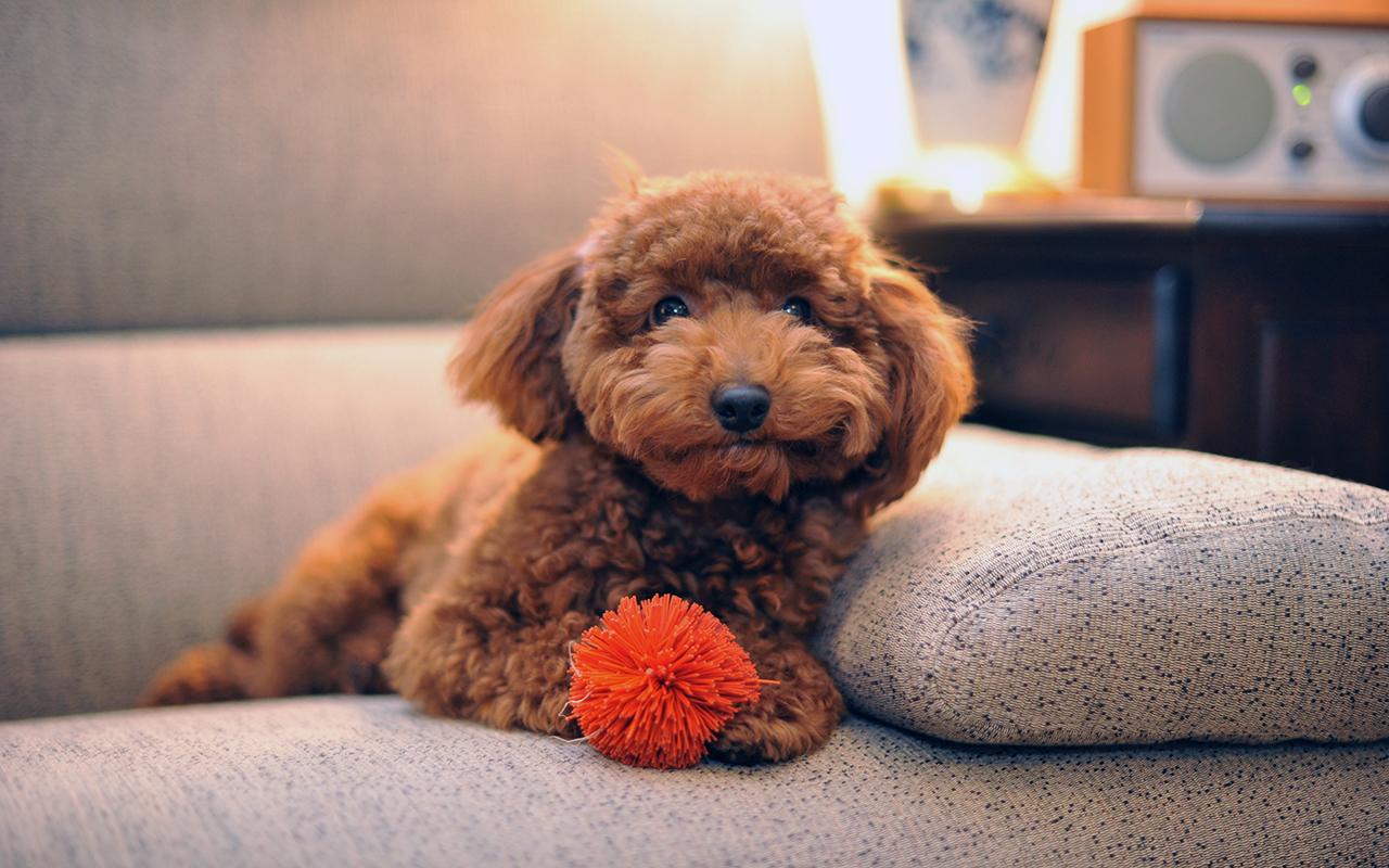 Voglio un cane mini toy ma esiste un cane di taglia cos for Cane barboncino toy