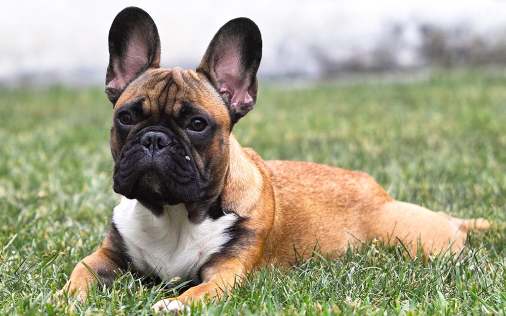 Voglio un cane mini toy ma esiste un cane di taglia cos - Colorazione immagine di un cane ...