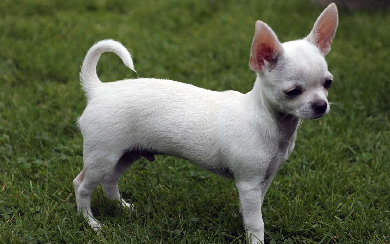 Cane mini toy taglia piccola animalipucciosi chihuahua for Piccoli piani di casa francese