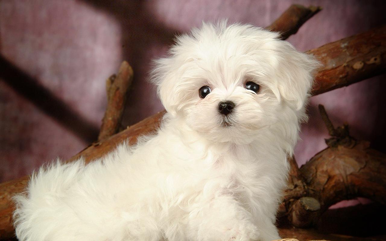 Voglio un cane mini toy! Ma esiste un cane di taglia così piccola? - Animali Pucciosi