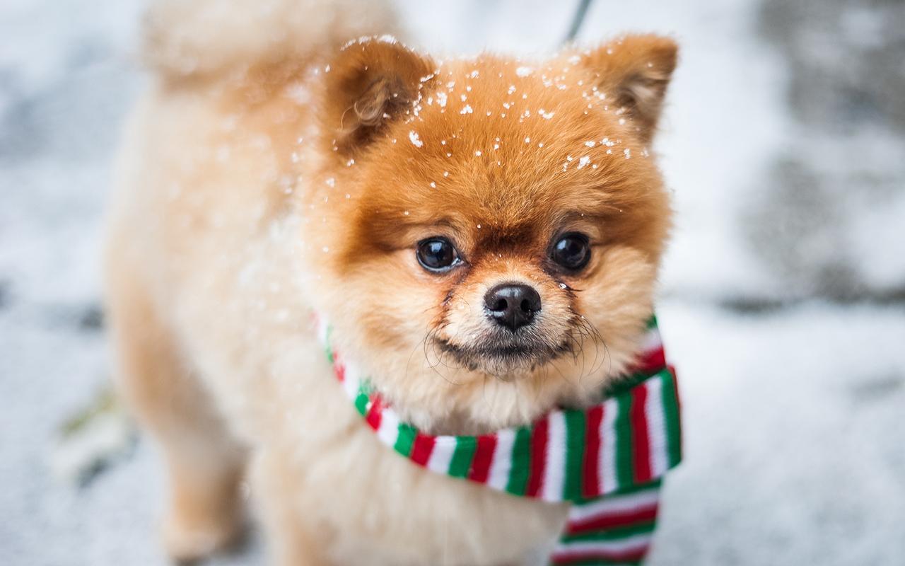 Good Volpino. Voglio Un Cane Mini Toy! Ma Esiste Un Cane Di Taglia Così Piccola?