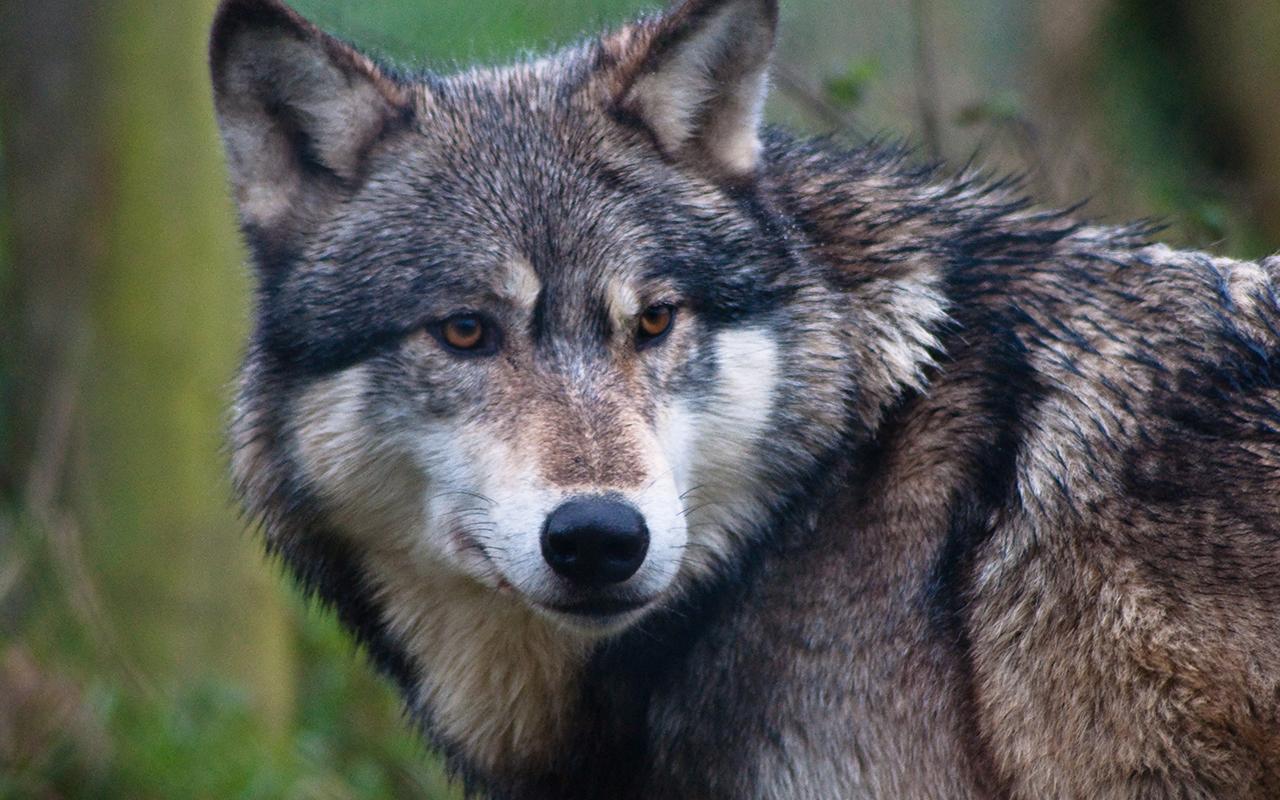 Il Lupo grigio: un animale prezioso da salvare!