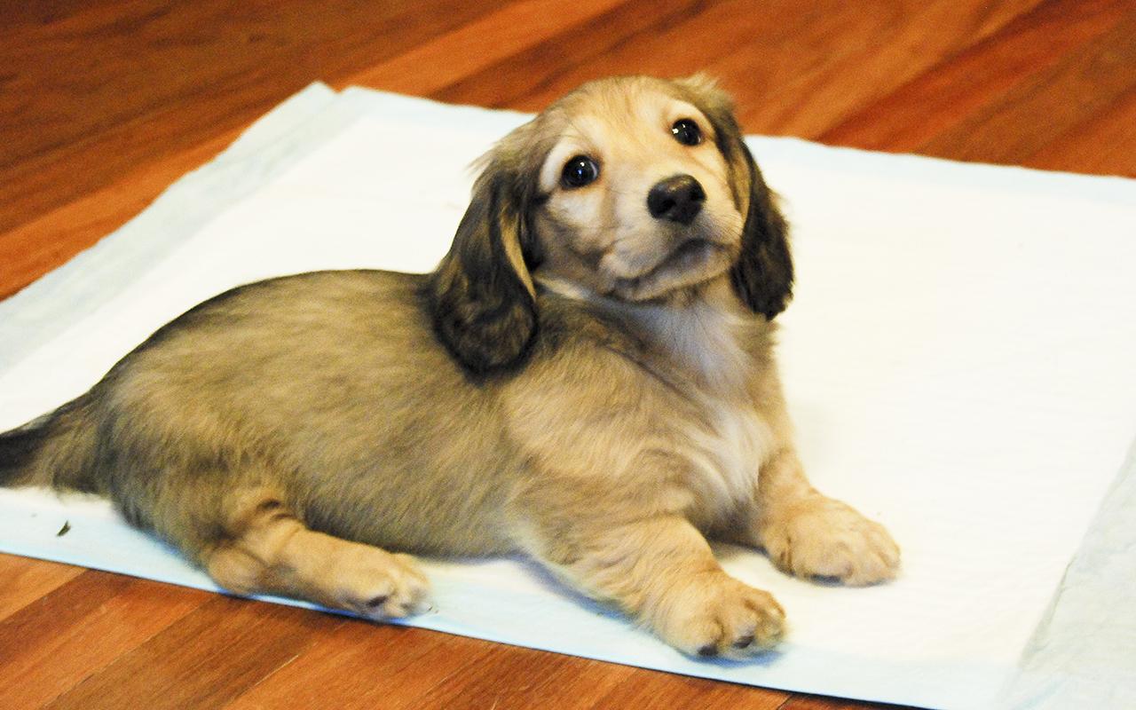 Cose indispensabili cucciolo cane pip animalipucciosi animali pucciosi - Cane pipi letto ...