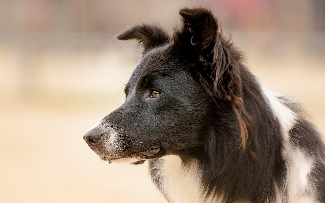Il Border Collie: dal gregge all'agility
