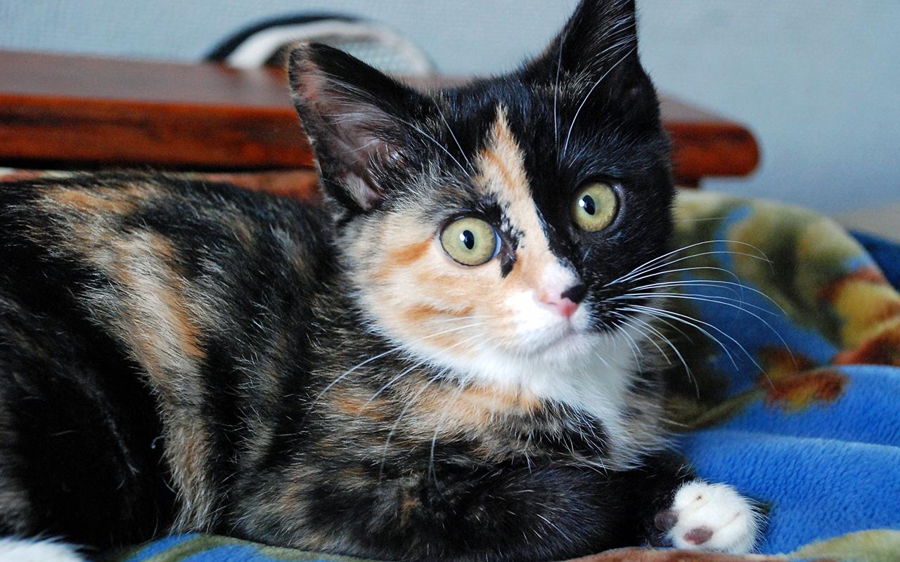 Gatti bobtail animali pucciosi1 animali pucciosi for Animali pucciosi