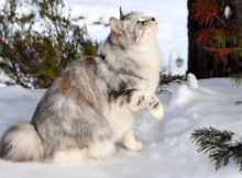 I gatti Bobtail, coda corta e tanta simpatia