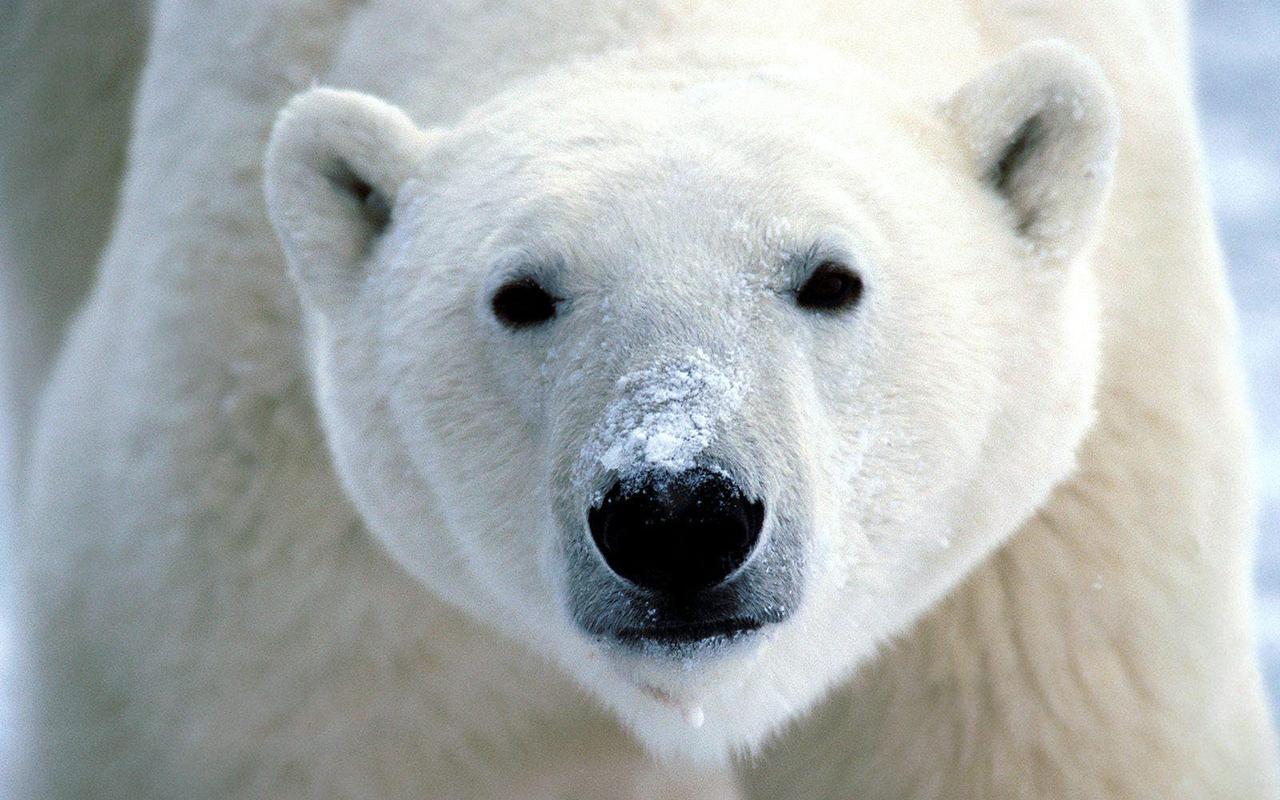 Animali polari e dove trovarli, pucciosi incontri al freddo