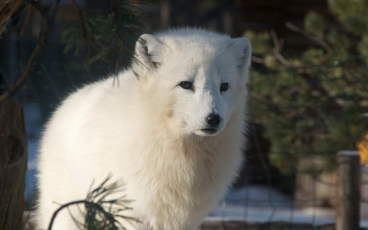 Animali polari e dove trovarli pucciosi incontri al for Dove vive la volpe