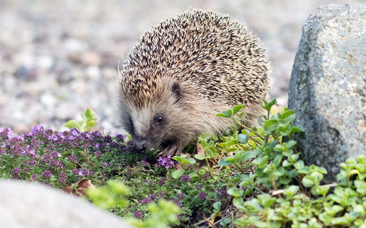 Il riccio animale selvatico o domestico animali pucciosi for Animali pucciosi