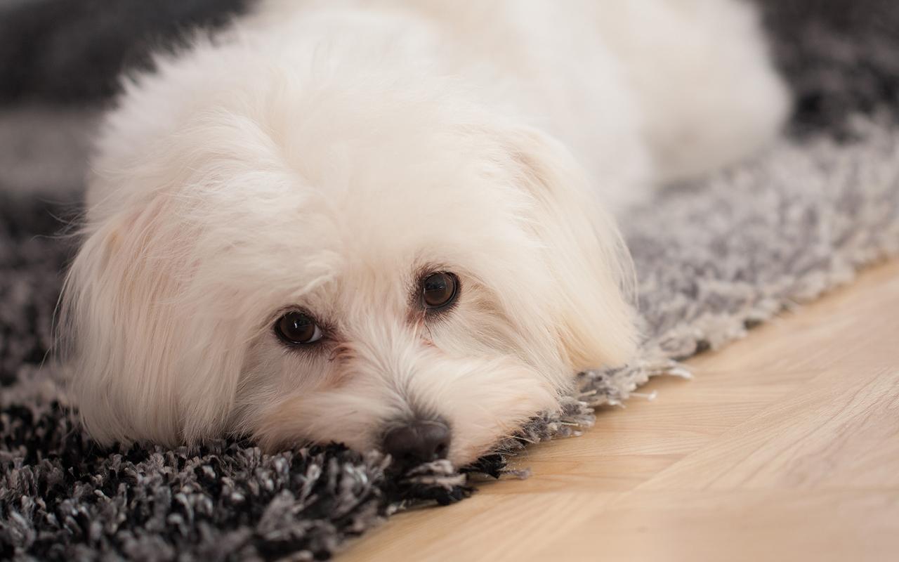 Il Maltese Un Cane Bianco E Pazzerello Animali Pucciosi