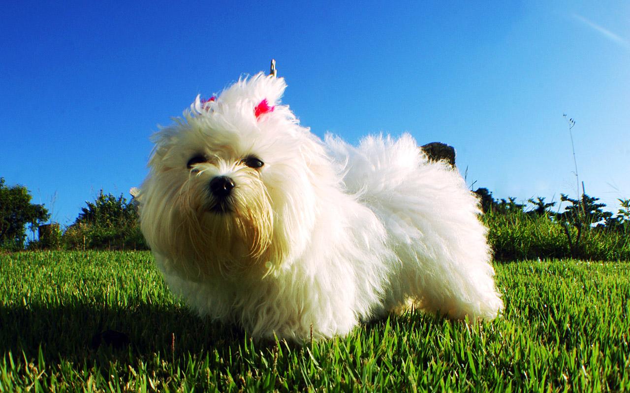Il maltese: un cane bianco e pazzerello