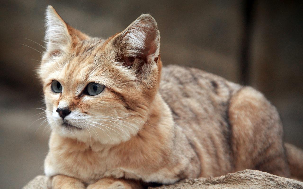 Il gatto delle sabbie, un piccolo felino nel deserto