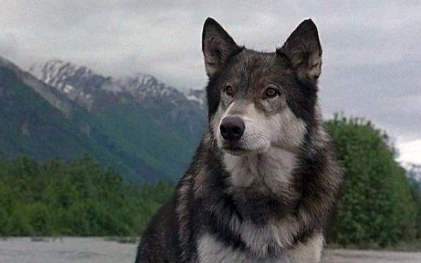 Film sugli animali zanna bianca animali pucciosi for Animali pucciosi