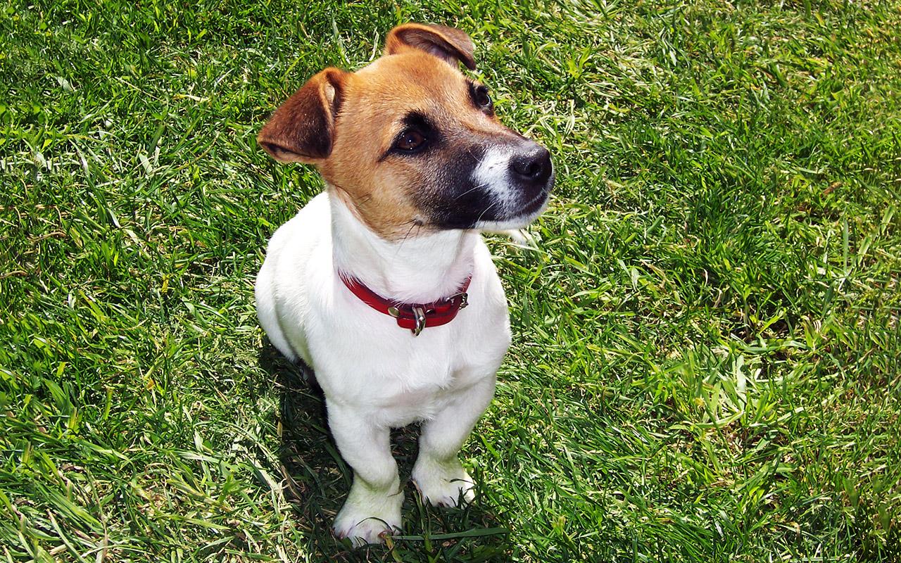 Il Jack Russell Terrier Una Piccola Carica Di Dinamite