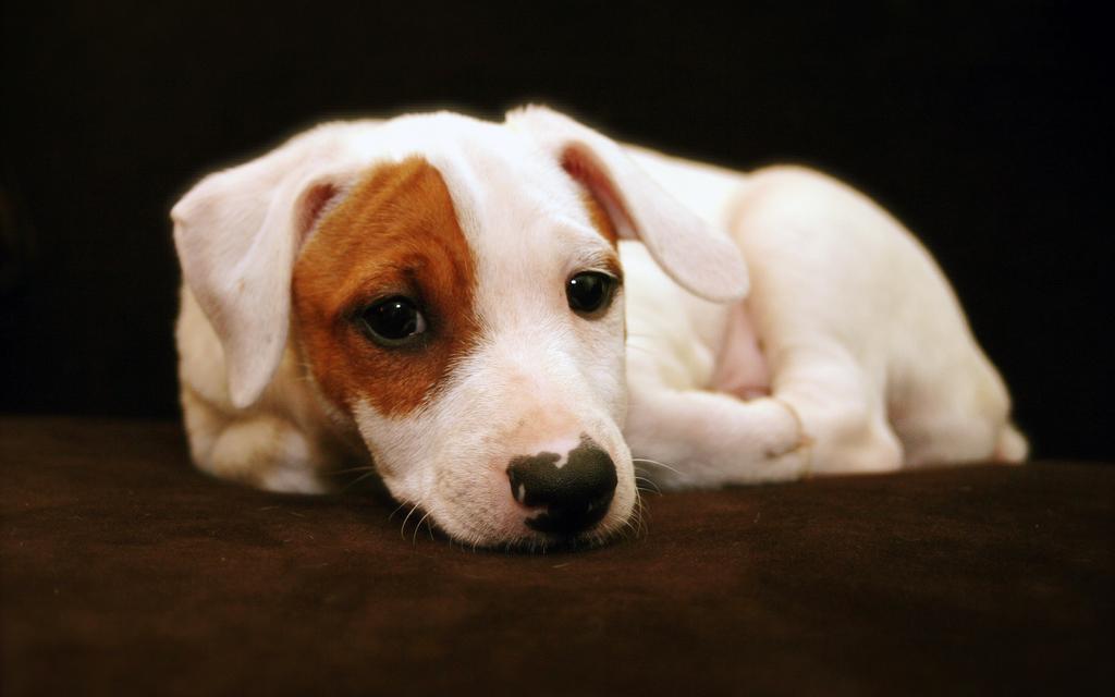 Il Jack Russell Terrier: una piccola carica di dinamite